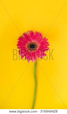 Bright Beautiful Gerbera Flowers On Sunny Yellow Background. Concept Of Warm Summer And Early Autumn