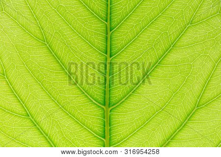 Leaf Nature Background. Nature Background Of Leaves. Tree Leaves Nature Background. Close Up Backgro