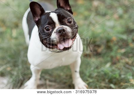 Black And White French Bulldog With A Collar.  Bulldog