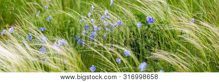 Bright Delicate Blue Flower Of Ornamental Flower Of Flax And Its Shoot Against Complex Background. F