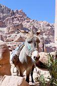 ruins of ancient city Petra and donkey Jordan poster