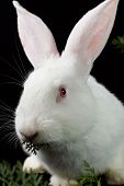 White fluffy rabbit on a black background poster