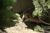 Hedgehog walking into view behind two bushes. Wildlife. Thorny small nocturnal Old World mammal covered with both hair and protective spines. poster