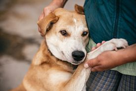 Hand Caressing Cute Homeless Dog With Sweet Looking Eyes In Summer Park. Person Hugging Adorable Yel