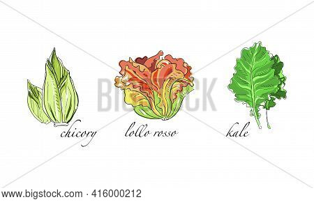 Set Of Salads And Leafy Vegetables, Chicory, Lollo Rosso, Kale Hand Drawn Vector Illustration