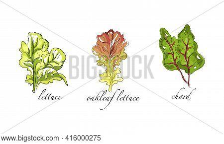 Set Of Salads And Leafy Vegetables, Oakleaf Lettuce, Chard Hand Drawn Vector Illustration