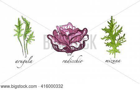 Set Of Salads And Leafy Vegetables, Arugula, Radicchio, Mizuna Hand Drawn Vector Illustration