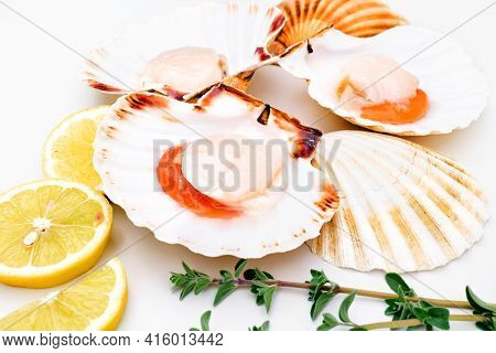 Raw Scallops In Shells With Lemon And Herbs On White Background. Mediterranean Seafood. Fresh Shellf