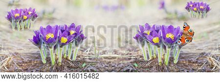 Wide-screen Unfocused Background With Snowdrops Blooming In The Forest. Art Design, Banner