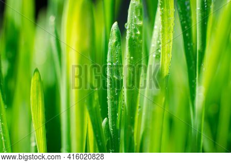 Grass With Water Drops Close-up. Beautiful Green Wheat Germ Background