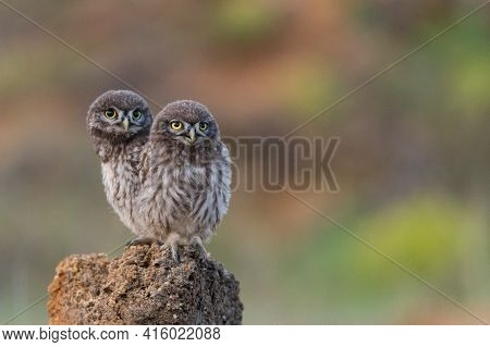 Two Little Owl Athene Noctua Is On The Stone On A Beautiful Background.