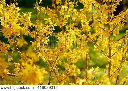 Yellow Forsythia Lynwood First Spring Flowers. Spring Flowering Shrub In Garden