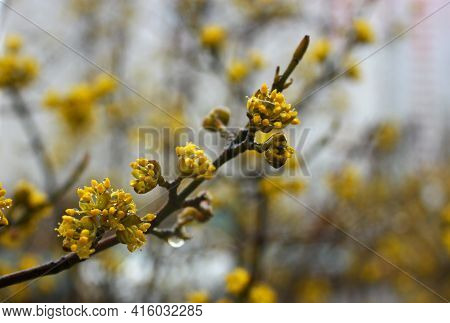 Cornelian Cherry Little Yellow Blooming Flowers With Transparent Water Drops After Spring Rain. Blur