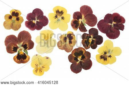 Pressed And Dried Flower Pansies Or Violet, Isolated On White Background. For Use In Scrapbooking, F