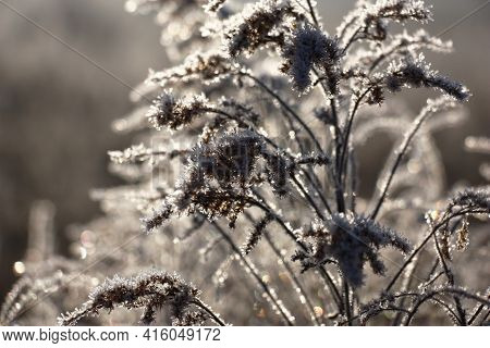 Chaotically Located Dark Escapes Of A Solidago Are Covered With Scintillating Crystals Of Hoarfrost.