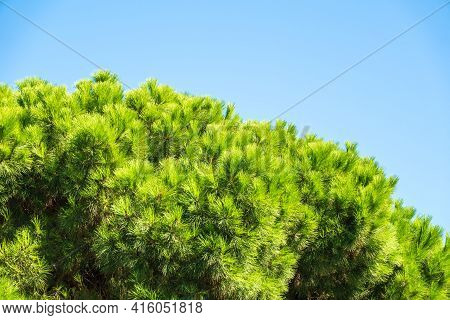 Green Pine Tree With Long Needles On A Background Of Blue Sky. Crown Of Lush Green Pine Tree With Lo