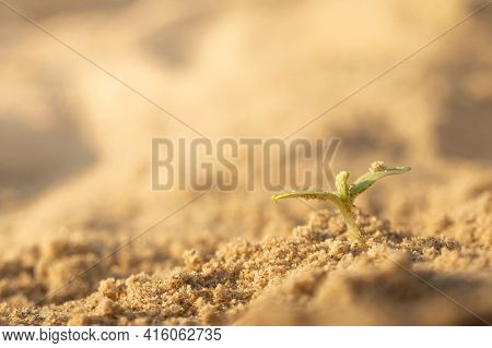 Young Green Sprout In Desert. Sunlight. Survivor Concept.