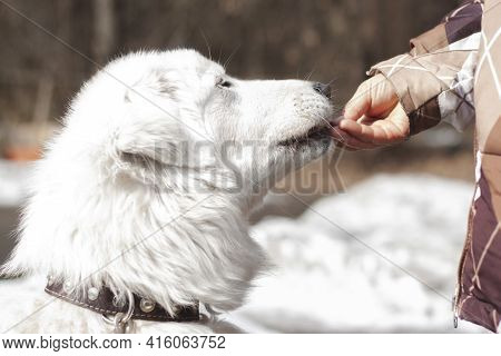 The Head Of A White Maremma Breed Dog Is Close Up And The Hand Gives Food To The Dog In The Mouth