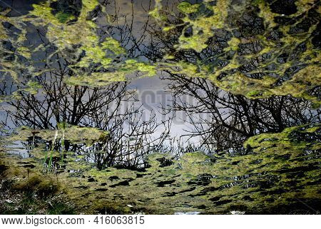 View Of A Damp With Green Moss On Water Surface And Reflections Of Trees.