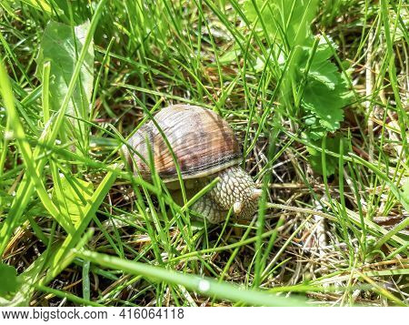 Roman Snail Or Burgundy Snail (helix Pomatia) With Light Brownish Shell On The Ground Surrounded Wit