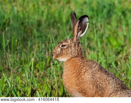 The European Hare Or Brown Hare (lepus Europaeus) Feeding And Eating Grass Surrounded With Greenery
