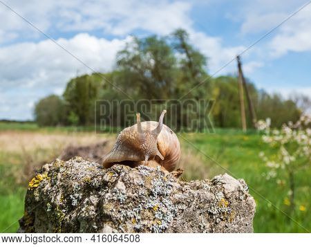 Roman Snail Or Burgundy Snail (helix Pomatia) With Light Brownish Shell On The Rock With Blurred Cou