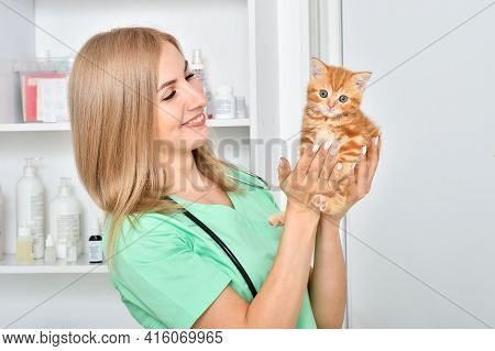 Veterinarian Holds In The Hands Of A Small Red Kitten Scottish Straight