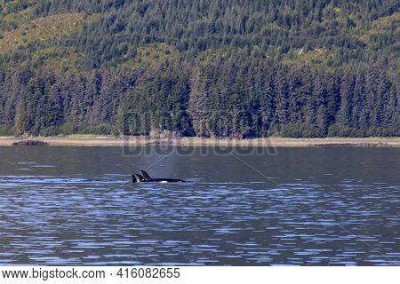 Strait Point, Alaska / Usa - August 13, 2019: Orca At Strait Point, Strait Point, Alaska, Usa