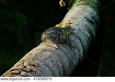 Varanus Salvator Lay On Coconut Tree Nature Background