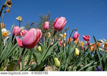 Close Up Of A Beautiful Pink Tulips And Other Colorful Flowers Against A Blue Sky In France