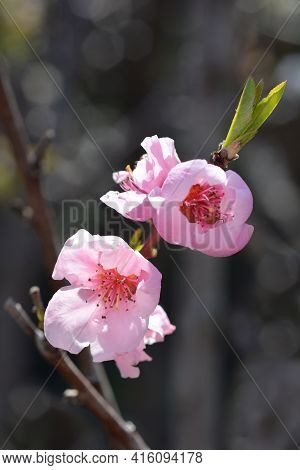 Nectarine Independence Flowers - Latin Name - Prunus Persica Var. Nucipersica Independence