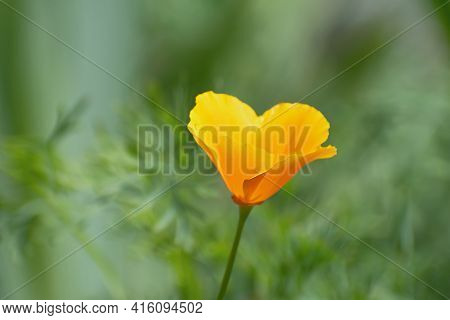 Macro View Of Lonely Fresh Bright Orange - Yellow Californian Poppy Flower On Blurred Pale Green Flo