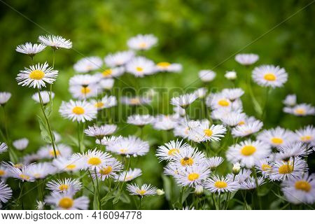 Summer Meadow With Blooming Daisy-like Flowers. Small-petalled Garden Flowers - Erigeron Annuus - On