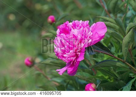Bush Of Amazing Terry Bright  Pink  Pion Flower With Long Green Leaves And Some Buds On Blurred Gree