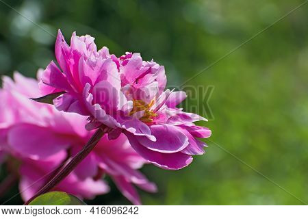 Beautiful Terry Bright Pink Pion Flower  On Blurred Multicolored Floral Background With Some Big Bok