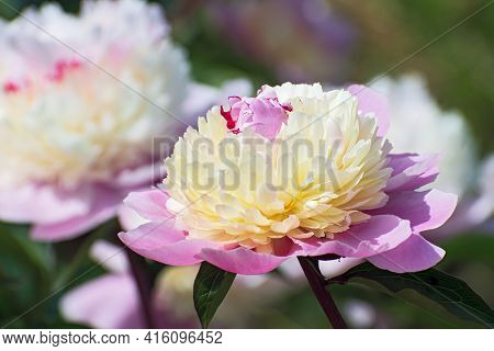 Macro View Of Big Terry Pink - Yellow Pion Flower On  A Blurred Background Of Other Peon Flower. Flo