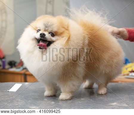 Spitz Grooming. Smilling Dog. Grooming By A Professional Groomer In The Salon. Close Angle. The Groo