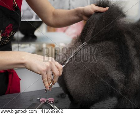 A Professional Groomer Cuts A Fluffy Dog. Pomeranian Haircut. Spitz Grooming. Grooming By A Professi