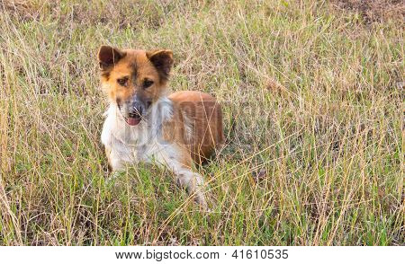 Thai Dog in The Sitting Post in The Grass Field poster