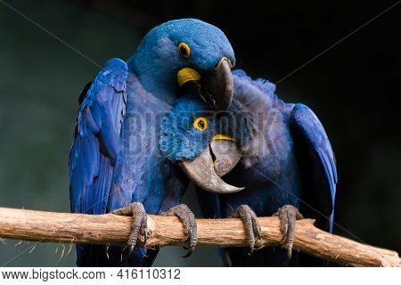 Blue Parrots In The Forest Sitting On A Branch