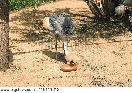The Crowned Crane Balearica Regulorum Is A Large Bird, Representative Of The Family Cranes Gruidae.