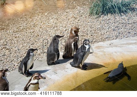 The Humboldt Penguin Spheniscus Humboldti Is A South American Penguin Living Mainly In The Pingüino