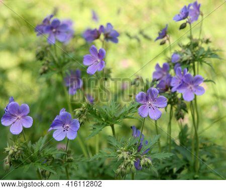 Spring Field Of Flowers Geranium Pratense (meadow Cranesbill)
