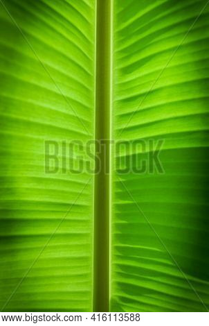 Abstract Pattern Of Natural Background Of Banana Leaves. Details Of Banana Leaf.