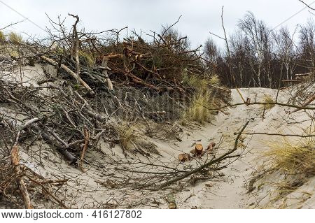 Strengthening Of Sandy Sea Shores. The Sand Dune Of The Baltic Sea. Curonian Spit National Park, Rus