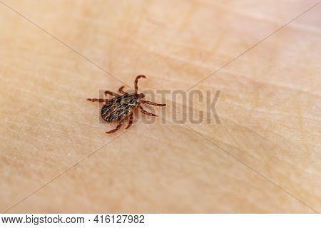 A Dangerous Blood-sucking Insect. Small Brown Spotted Mite, Biological Name Dermacentor Marginatus O