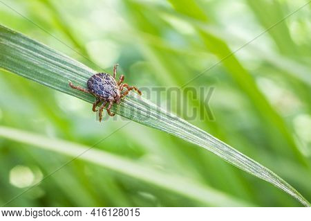 Encephalitis Infected Tick Insect On Green Grass In The Sunshine Of Summer. Lyme Borreliosis Disease