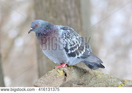 A Gray Dove Sits On A Branch.