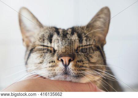 Cute Tabby Kitty Enjoying Caresses Of His Human. Female Hand Petting European Shorthair Cat, Close U