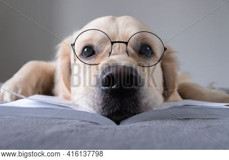 A Large Dog In Round Glasses Is Reading A Book. The Golden Retriever Is Lying On The Bed Preparing F